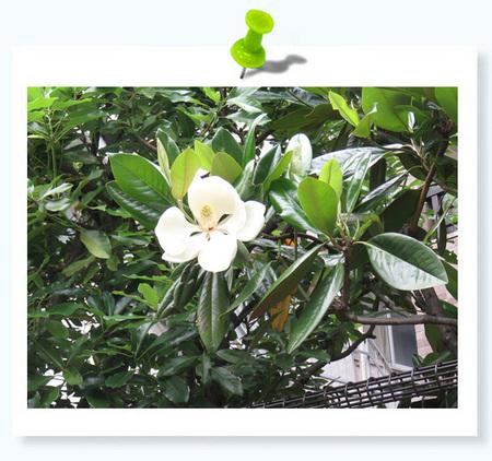 タイサンボク02.jpg