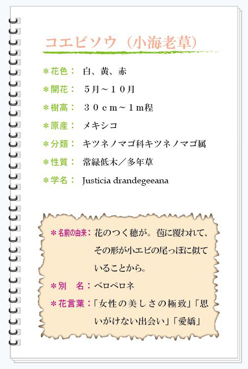コエビソウ花MEMO.jpg
