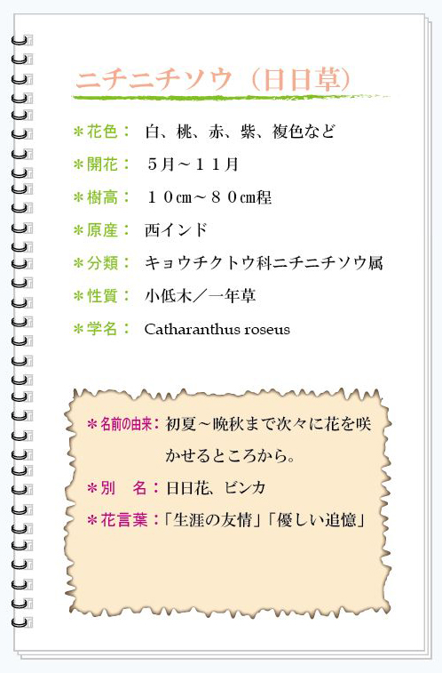 ニチニチソウ花MEMO.jpg