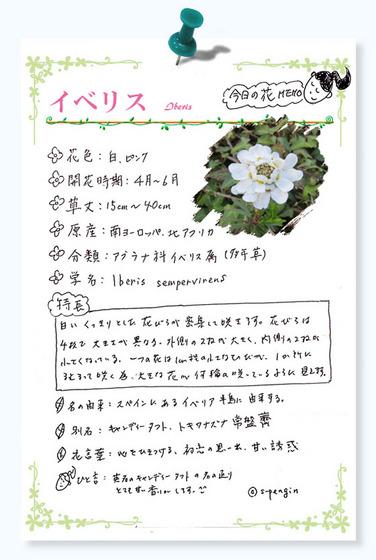 194イベリス花MEMO.jpg