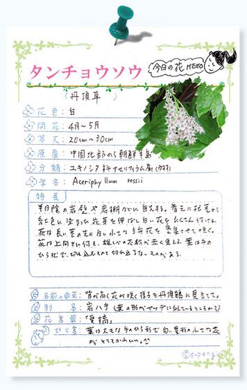 214今日の花MEMOタンチョウソウ.jpg
