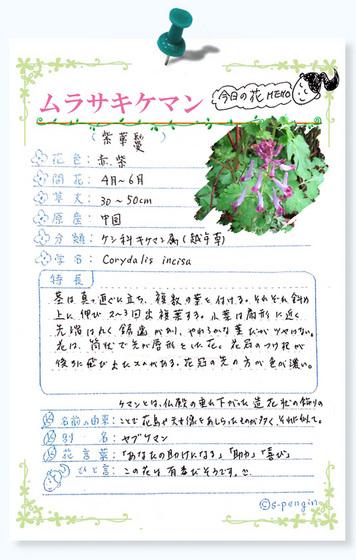 216今日の花MEMOムラサキケマン.jpg