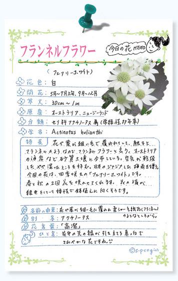 219今日の花MEMOフランネルフラワー.jpg