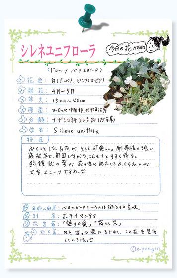 221今日の花MEMOシレネユニフローラ.jpg