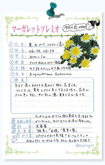 223今日の花MEMOマーガレットソレミオ.jpg