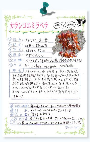 225今日の花MEMOカランコエミラベラ.jpg