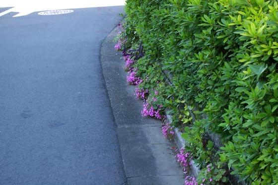 カタバミの小道01 - コピー.jpg