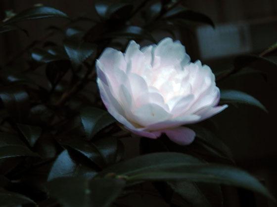 白いサザンカ02 - コピー.jpg