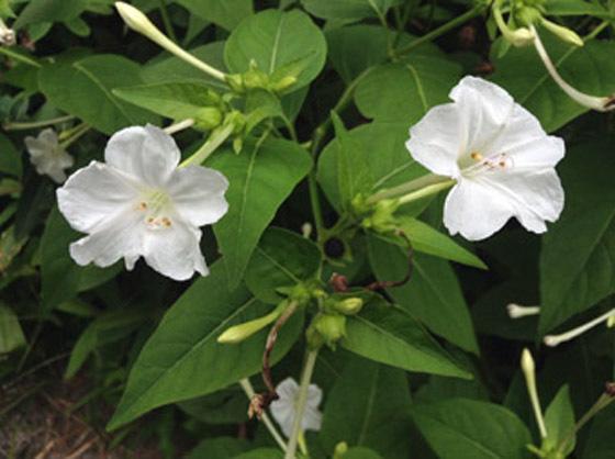 白花オシロイバナ02b - コピー.jpg