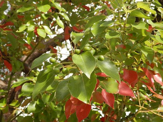 赤い葉っぱ04 - コピー.jpg